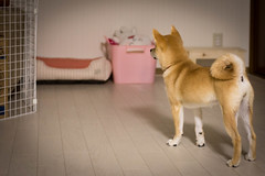 Yotsuba365 Day69 (Tetsuo41) Tags: dog shibainu yotsuba