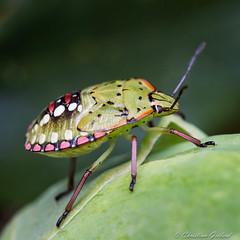Bug (christian.grelard) Tags: bug punaise insect nature green vert macro sigma sigma105mm canoneos700d