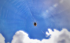 "Instead of ""Riders in the sky"" we'll have ""Spiders in the sky"" today - Day 36 (wiedenmann.markus) Tags: netherlands wildlife autumn summer wolke white blue animal nature cloud spider sky"