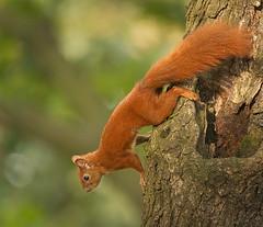 Getting down (hedera.baltica) Tags: squirrel redsquirrel eurasianredsquirrel wiewirka wiewirkapospolita sciurusvulgaris
