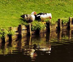 Harry look, we are not alone! (ost_jean) Tags: animals ducks swan eenden canard vogels nature natuur reflections reflectie nikon d5200 900 mm f28 ostjean weerspiegeling water vijver etang belgie belgium dieren