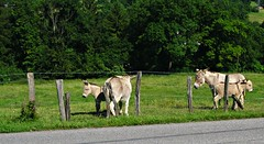 Donkeys in the Rhone-Alps (AmyEAnderson) Tags: donkeys jackasses pasture france europe spring rhonealps burros fence barbedwire fenceposts