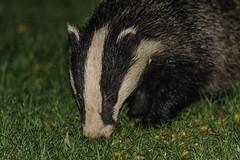 badger portrait (davidrhall1234) Tags: badger mammal threatened wildlife wildlifetrust nature nikon nikond7100