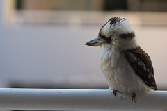 Kookaburra on the balcony (yemio) Tags: australia nsw newsouthwales waitara animal bird kookaburra railing