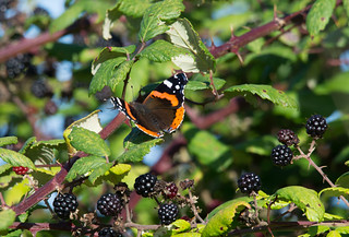 Red admiral on brambles