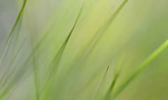 The mood of Spring (setoboonhong) Tags: outdoor grass green colours pastel light nature melbourne botanical gardens fading sunlight depth field close up abstract chopin piano piece spring waltz