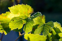 DSC_2725 (Marlon Fried) Tags: herbst nebel landschaft natur makro bokeh bltter weinberg tau fall autumn macro leaves fog dew landscape vine
