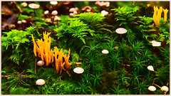 Corail suisse  swiss coral (www.nathalie-chatelain-images.ch) Tags: fort forest champignons mushrooms mousse moss vert green orange nikon