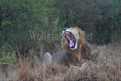 10077917 (wolfgangkaehler) Tags: 2016africa african eastafrica eastafrican kenya kenyan masaimara masaimarakenya masaimaranationalreserve wildlife mammal bigcat predator predatory bigfive lions lionpantheraleo rain rainy raining rainstorm wet maleanimal malelion yawn yawning sleepy