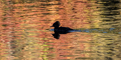 Silhouette on a Lake (Explored 10/20/16) (Spokeannie) Tags: duck merganser autumn colors lake reflections