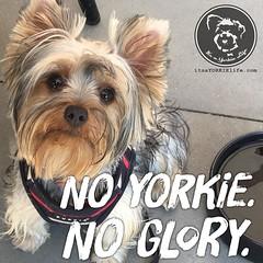 Yay! Both! (itsayorkielife) Tags: instagram itsayorkielife yorkie yorkshireterrier