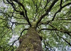 Calderstones Tree No. 2 (Maggie's Camera) Tags: tree calderstonespark autumn colour october 2016 liverpool merseyside uk nature outdoor