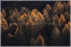 Larch Trees (effeottoinfinito.wordpress.com) Tags: autumn sun larch forest