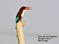 On Call (r0ysuman) Tags: nikon coolpix p 530 india kanpur uttar pradesh flora fauna bird birds white throat kingfisher