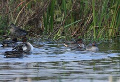 green-winged teal  ........Anas carolinensis (gus guthrie1) Tags: anascarolinensis greenwingedteal duck teal plumage rare water loch kinnordy migrant