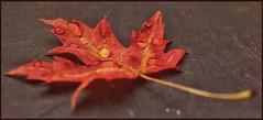 Autumn leaf. (frankvanroon) Tags: flickrfriday macromondays autumn leaf leaves colorful waterdroplet waterdrop fall autumnleaves explored inexplore hmm inspiration