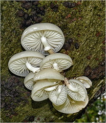 Porcelin fungus . (Alan Burkwood) Tags: porcelinfungus oudemansiellamucida fungi clumberpark nottinghamshire