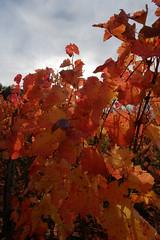 Herbst (m.a.r.c.i) Tags: germany deutschland vineyard stuttgart herbst fujifilm fujinon marci weinberg fellbach badenwürttemberg xe1 xf18mmf2