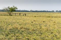 _DSC5654 copy (Abdul Qadir Memon ( http://abdulqadirmemon.com )) Tags: pakistan rice harvest punjab lahore abdul 2014 qadir memon