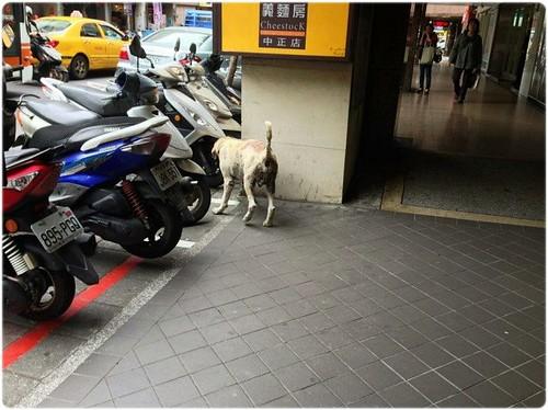 「發現」新北市永和中正路上~有隻似黃金獵犬?拉拉?皮膚病很嚴重~有人遺失黃金嗎?有人可以幫助牠嗎?謝謝您!20141128