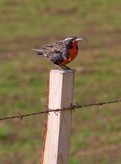 Sturnella loyca (Loica) (Diego_Valdivia) Tags: chile patagonia bird ave coyhaique regin aysn loica sturnella loyca