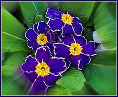 Blue Primula Plant . (** Janets Photos **) Tags: uk blue plants macro flora closeups primula notaterrorist interestinggroup