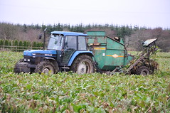 New Holland Ford 7840 Tractor with an Armer Salmon Cheetah Single Row Beet Harvester (Shane Casey CK25) Tags: county new blue ireland winter horse irish tractor holland green ford field work nikon traktor power cattle cows mud earth farm cork farming working salmon nh row soil dirt till single crop land crops cheetah feed farmer agriculture beet pulling harvester tracteur trator horsepower fodder lifting harvesting armer trekker cnh agri d90 tillage 7840 cignik collectiong traktori watergrasshill fodderbeet harvest2014