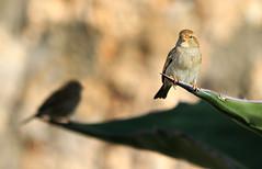 Sombra (vic_206) Tags: shadow bird animal sombra housesparrow passerdomesticus gorrión canon300f4lis canoneos7d