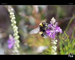 On The Wings of a Dream (tomraven) Tags: light summer flower macro 35mm pentax bokeh bee kx beemacro tomraven aravenimage q12015