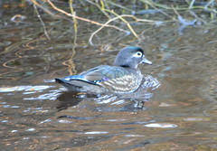 Female Wood Duck in Stanley Park (Neal D) Tags: vancouver duck bc stanleypark woodduck aixsponsa