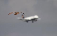 Carrera (vic_206) Tags: plane wow duck bcn flight pato avión vuelo deltadelllobregat canoneos7d canon300f4liscanon14xii