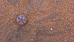 Real (16:9clue) Tags: beach skeleton sand fuerteventura playa pointandshoot 169 pointshoot seaurchin echinoderms beachphotography playasotavento sotaventobeach 169clue