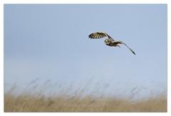 Short Eared Owl (cheffievrs) Tags: wild nature canon wildlife hunting shortearedowl asioflammeus wildfree borderfx quartering