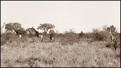 Sdafrika 09-2014 (641a) (Avatarmin) Tags: wild elephant game bird nature animal monkey austria pig sterreich nationalpark buffalo turtle natur safari leopard armin rhino a380 zebra crocodile cheetah giraffe hippo baboon vulture elefant pretoria hdr highdynamicrange johannesburg antilope township tier vogel afrikaans potholes kruger godswindow affe bigfive wildschwein wildpig gamedrive schildkrte krokodil big5 wilddog blyderivercanyon gepard pavian geier hyne flusspferd nashorn krgernationalpark wasserbffel knu bffel photomatix threerondavels rodler blyderiver irbus drakenberge arminrodler drakenmountains