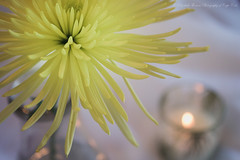 Yellow Dahlia in Still Life (elizthomasphoto) Tags: life dahlia flower yellow garden still etsy