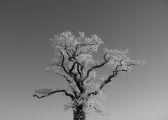 Frosty tree (trusler_james) Tags: winter sky blackandwhite snow cold tree ice frozen northampton frost december bare sony northamptonshire dslr denton a350
