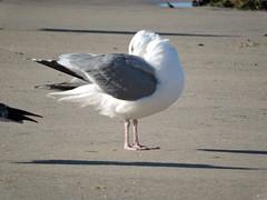 Gaivota prateada (Larus argentatus)-4 (Luis.Mota) Tags: gull gaivota larus argentatus prateada