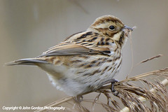 Reed Bunting web-8296 (John Gordon Photography (Canada)) Tags: uk wales avian gwent ukbirds newportwetlands johngordonsphotographycom