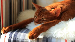"""saw a dog do this once"" (peterned) Tags: dog pet cat canon eos chair explore 7d abyssinian sheepskin pedigree comfy februari impersonation 2015 1755mm"