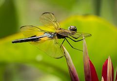 Yellow Winged Dragonfly (Roniyo888) Tags: yellow dragonfly winged bg