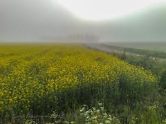 Misty Mustard (Timo Halonen) Tags: yellow nokia mustard carlzeiss n95 pelto laihia ostrobothnia etelpohjanmaa keltainen rypsi perl