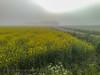 Misty Mustard (Timo Halonen) Tags: yellow nokia mustard carlzeiss n95 pelto laihia ostrobothnia eteläpohjanmaa keltainen rypsi perälä