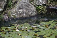 Water lily (ddsnet) Tags: plant waterlily sony taiwan resolution   taoyuan aquaticplants  ilc      7r   mirrorless   nymphaeatetragona    interchangeablelenscamera 851 7r ilce7r