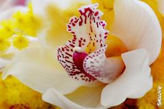 macro orchidea bianca (IEIA1978) Tags: orchid macro march mimosa marzo orchidea womensday mimose festadelladonna happywomensday ottomarzo orchideabianca orchidearosa orchideagialla orchideamaculata eightmarch orchideafucsia orchideafucsiarigata orchideaverde nelcuoredellorchidea aspettandolafestadelladonna ottomarzo2015 waitingforwomensday buonafestadelladonna womensday2015 orchideaemimosa orchideeemimose festadelladonna2015