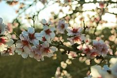 (Honey Bfly) Tags: pink flowers flores primavera spring blossom almond rosa printemps almendro nikond60
