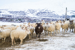 DSC01475 (ekremenak) Tags: photo iceland sheep 1502 150212