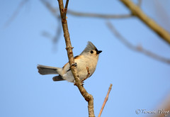 Tufted Titmouse (av8s) Tags: nature birds photography nikon pennsylvania wildlife sigma pa titmouse tuftedtitmouse songbirds perchingbirds d7100 nescopeckstatepark 120400mm