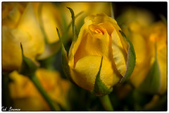 Rosebud (Ted Bowman Photography) Tags: flowers roses offcameraflash studiom