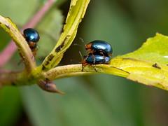 Kfer (Eerika Schulz) Tags: bug ecuador beetle kfer