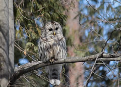 Chouette au soleil (Marie-Jose Lvesque) Tags: winter canada bird nature wildlife hiver qubec oiseau barredowl rapace 2015 ornithologie chouetteraye